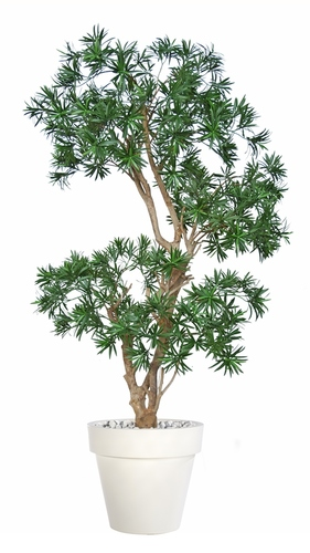 Podocarpus Stylish 170 cm Green